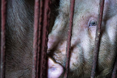 The farm pig ,walking in the sty, look like sad, can`t go outsid Stock Images