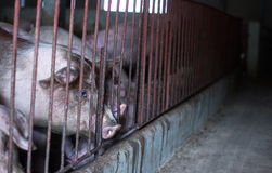 The farm pig ,walking in the sty, look like sad, can`t go outsid Royalty Free Stock Photo