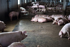 The farm pig ,walking in the sty, look like sad, can`t go outsid Stock Photography