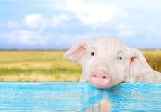 Farm piglet. Pets piglet animals barn livestock humor Stock Photography