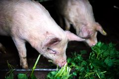 Farm piglets eating grass in the countryside Stock Photos
