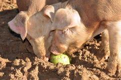 Farm Pigs Stock Image