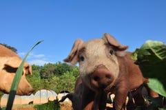 Farm Pigs Royalty Free Stock Photo