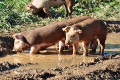 Farm Pigs Royalty Free Stock Images