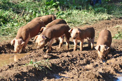 Farm Pigs Royalty Free Stock Image