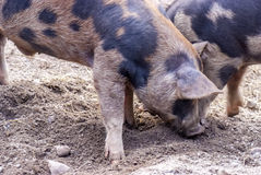 Farm of pigs... Royalty Free Stock Images
