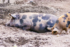 Farm of pigs: mother and child... Stock Image