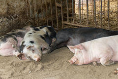Farm pigs Stock Photo