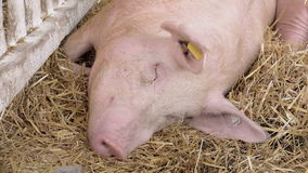 Farm Pigs Sleeping in Barn Hay stock footage