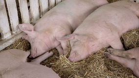 Farm Pigs Sleeping in Barn Hay stock video