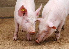 Farm pigs. In sty running happily around for food stock photo