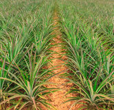 The farm pineapple. Stock Photography