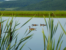 Farm pond with Canadian Geese family with green hills in background, cat tails in foreground. Royalty Free Stock Images