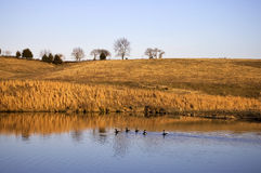 Farm Pond Ducks Royalty Free Stock Photography