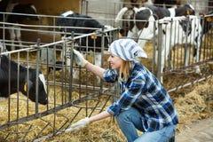 Farm positive smiling girl taking care of calves herd Stock Photography