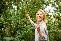 Farm produce organic natural product. Girl rustic style gather apples harvest garden autumn day. Farmer picking ripe stock images