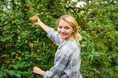 Farm producing organic eco friendly natural product. Girl gather apples harvest garden autumn day. Farmer lady picking. Ripe fruit from tree. Harvesting concept stock image
