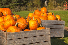 Farm Pumpkins Stock Photography