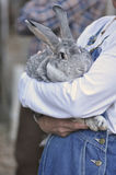 Farm Rabbit Stock Photos