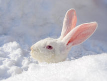 Farm rabbit on the snow Stock Photo