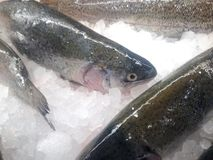 Rainbow trout. Farm raised fresh rainbow trout on the ice in a food store Stock Photography