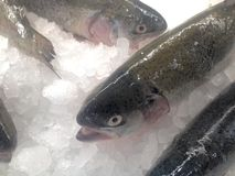 Rainbow trout. Farm raised fresh rainbow trout on the ice in a food store Stock Images