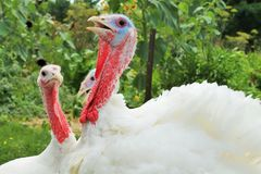 Farm-Raised Turkeys. Funny looks stock photos