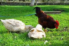 Red rooster and white duck. A farm red and white duck on green grass royalty free stock image