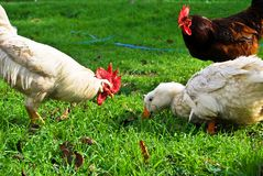 Red, white rooster and white duck. A farm red, white rooster and white duck on green grass stock photos