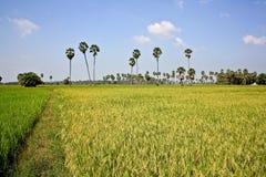 Farm of rice. Rice Farm phetchaburi,in Thailland Stock Photos
