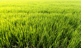 Farm rice Stock Photo