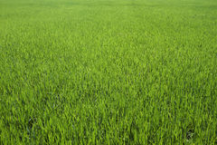 Farm rice background Stock Photography