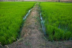 It is the farm of rice that can be generally seen Stock Photo