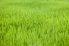 Farm rice paddy field Stock Photos