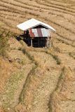 Farm rice in thailand Royalty Free Stock Images