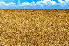 Farm ripe yellow wheat field ready for harvest. Beautiful autumn Stock Photography