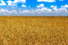 Farm ripe yellow wheat field ready for harvest. Beautiful autumn Stock Photos