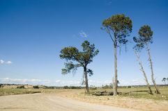 Farm Road. Tall trees  reaching into the blue sky next to a farm a turn on dirt road Royalty Free Stock Images