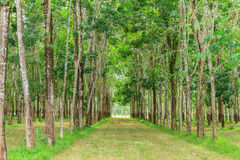 The farm rubber tree. Stock Photo