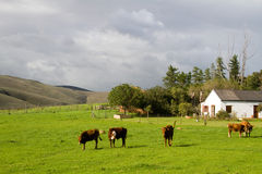 Farm rural landscape with Hereford cows and house Royalty Free Stock Photos