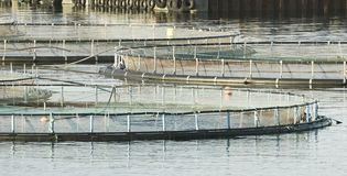 Farm Salmon Fishing With Cage System In Norway royalty free stock images