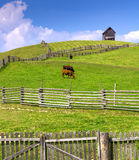 Farm scene with cows enclosed by a wooden fence and cottage on t Royalty Free Stock Image