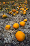 Farm Scene Halloween Vegetable Growing Autumn Pumpkins Harvest R Stock Photography