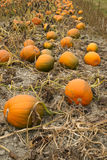 Farm Scene Halloween Vegetable Growing Autumn Pumpkins Harvest R Stock Images