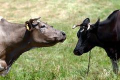 Farm scene - two cows royalty free stock photos