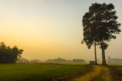 Rice Field in the sunrise. Seasonal agricultural cultivation in thailand Royalty Free Stock Photo