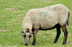 A farm sheep Royalty Free Stock Images