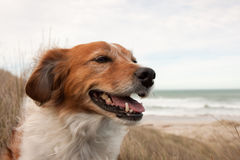 Farm sheep dog on a grassy sand dune track royalty free stock photo