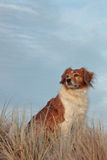 Farm sheep dog on a grassy sand dune track royalty free stock images