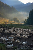 Farm sheep and goats against mountains landscape Royalty Free Stock Photography